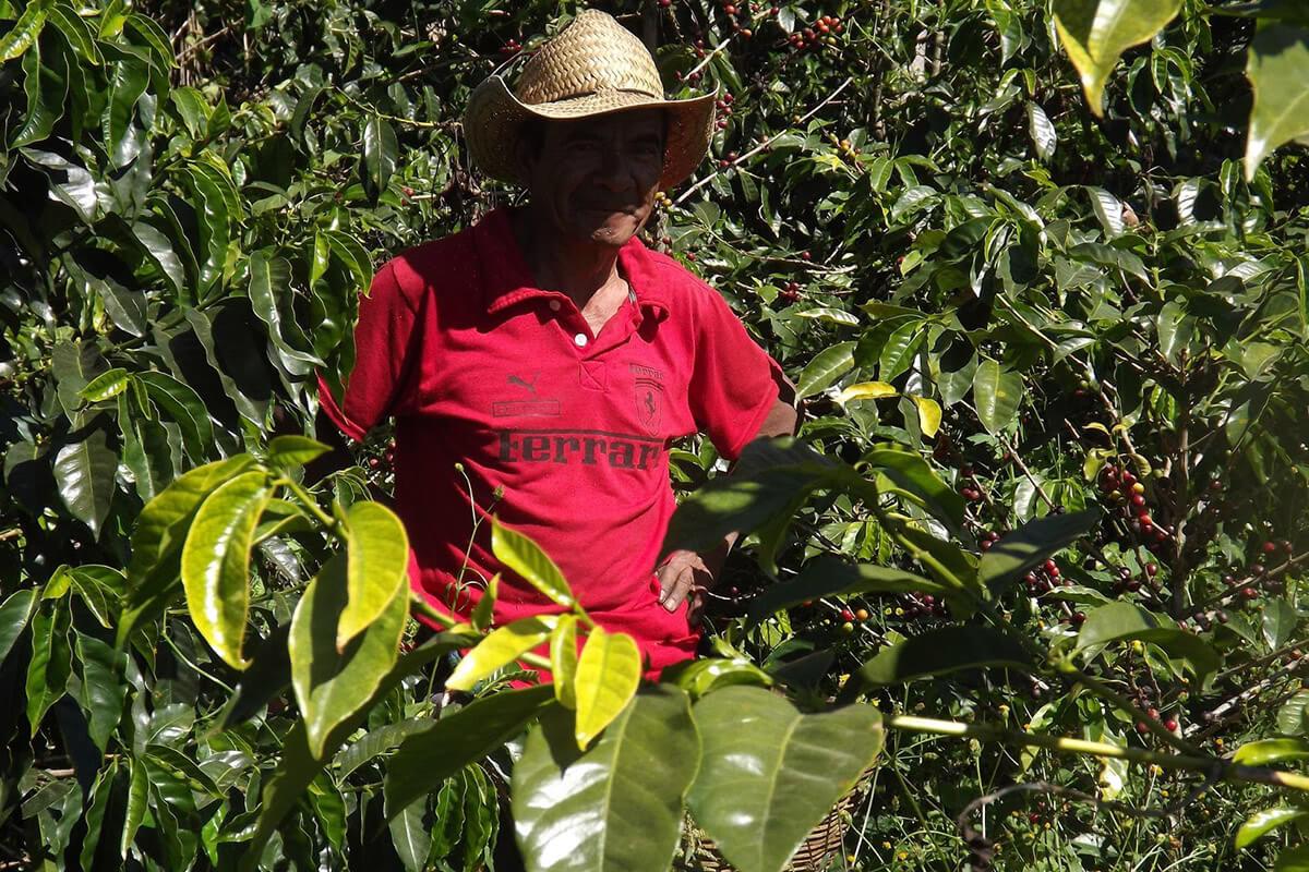 Farmer on coffee plantation