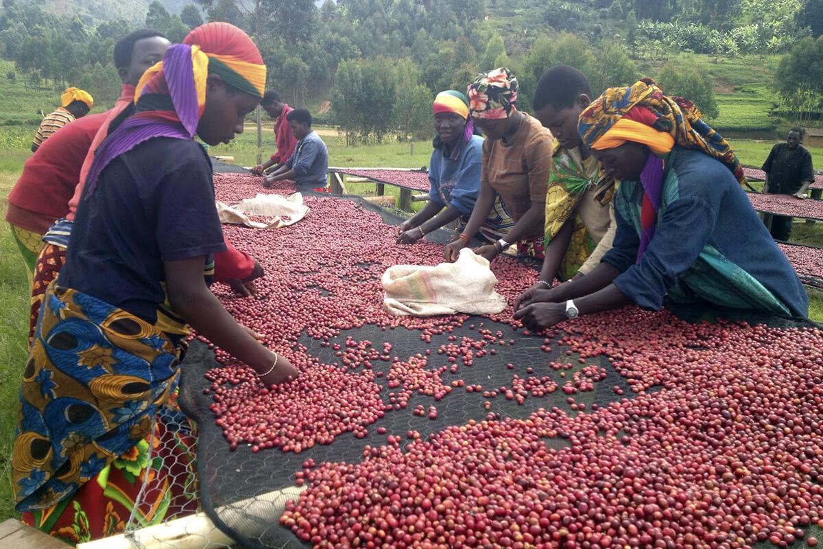 Sorting of coffee cherries by hand